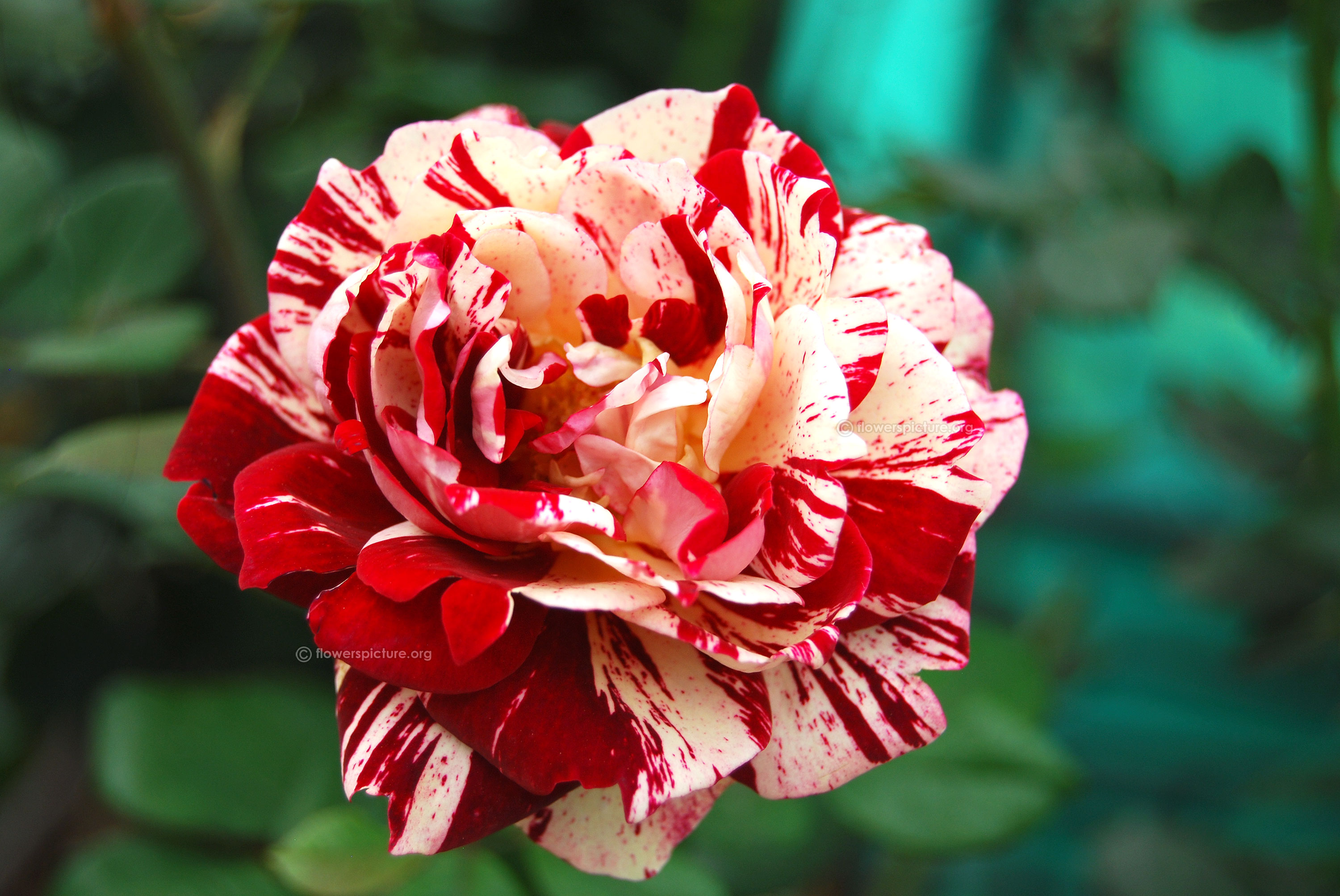 Red with white striped rock and roll rose