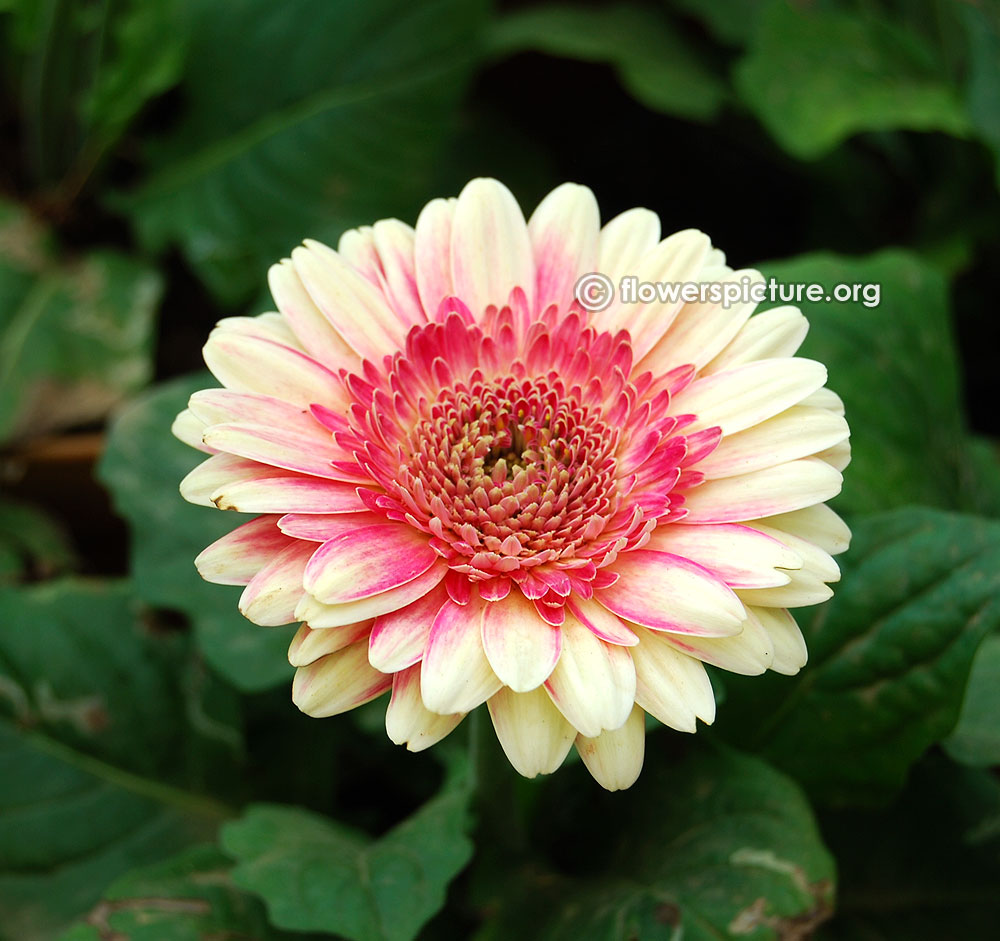 gerbera-fiction-beige-with-pink-centric Name Of Pink House Plant on indoor plants, names of elephant ear plants, names of angel plants, names of landscape plants, names of different houseplants, names of house buildings, names of dry plants, names of unusual plants, names of gifts, names of climbers, names of office plants, names of herbaceous perennials, names of fuchsias, names of seashore plants, names of dracaena plants, names of house design, names of flowers, scientific names of plants, names of plants inside, names of hibiscus,