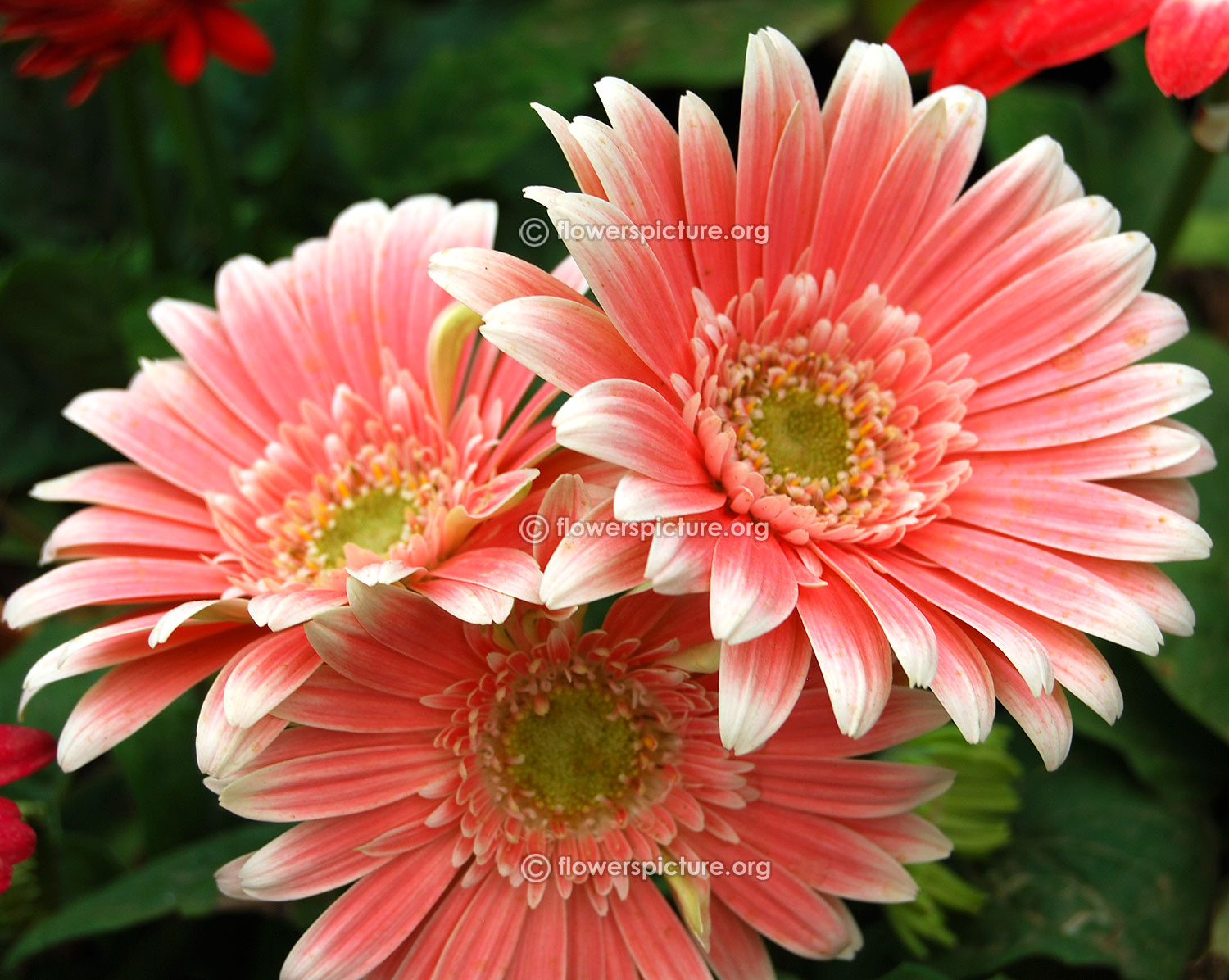Gerbera daisy varieties salmon pink gerbera daisy lalbagh krumbiegel remembered flower show jan 2016 izmirmasajfo
