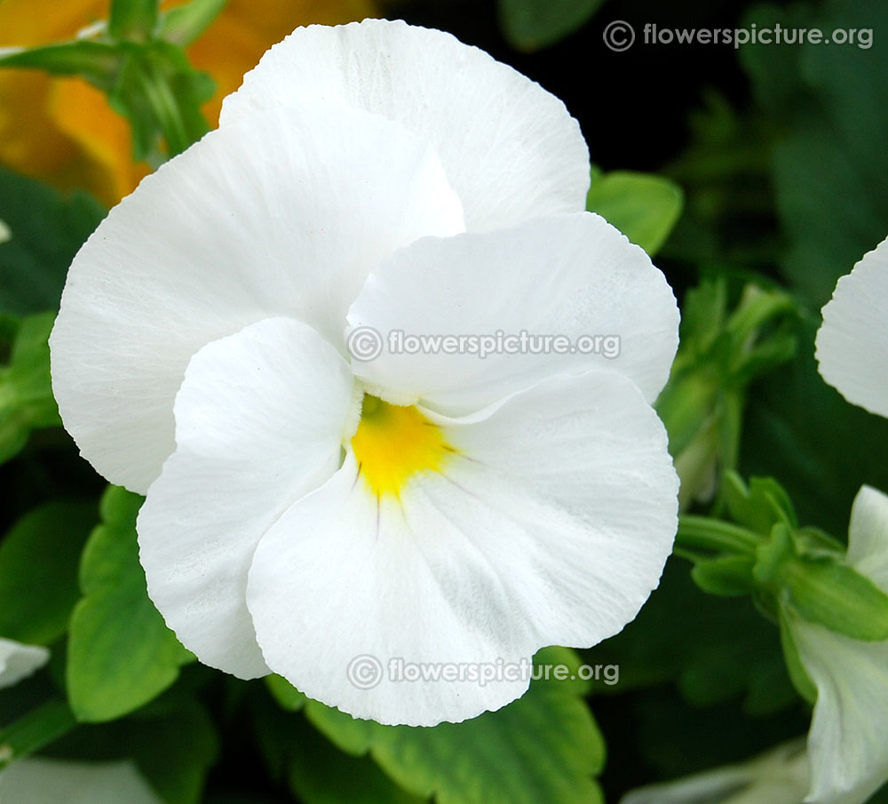 Pansy varieties white with yellow eye pansy lalbagh flower show jan 2016 mightylinksfo Choice Image