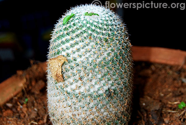 fishhook pincushion cactus