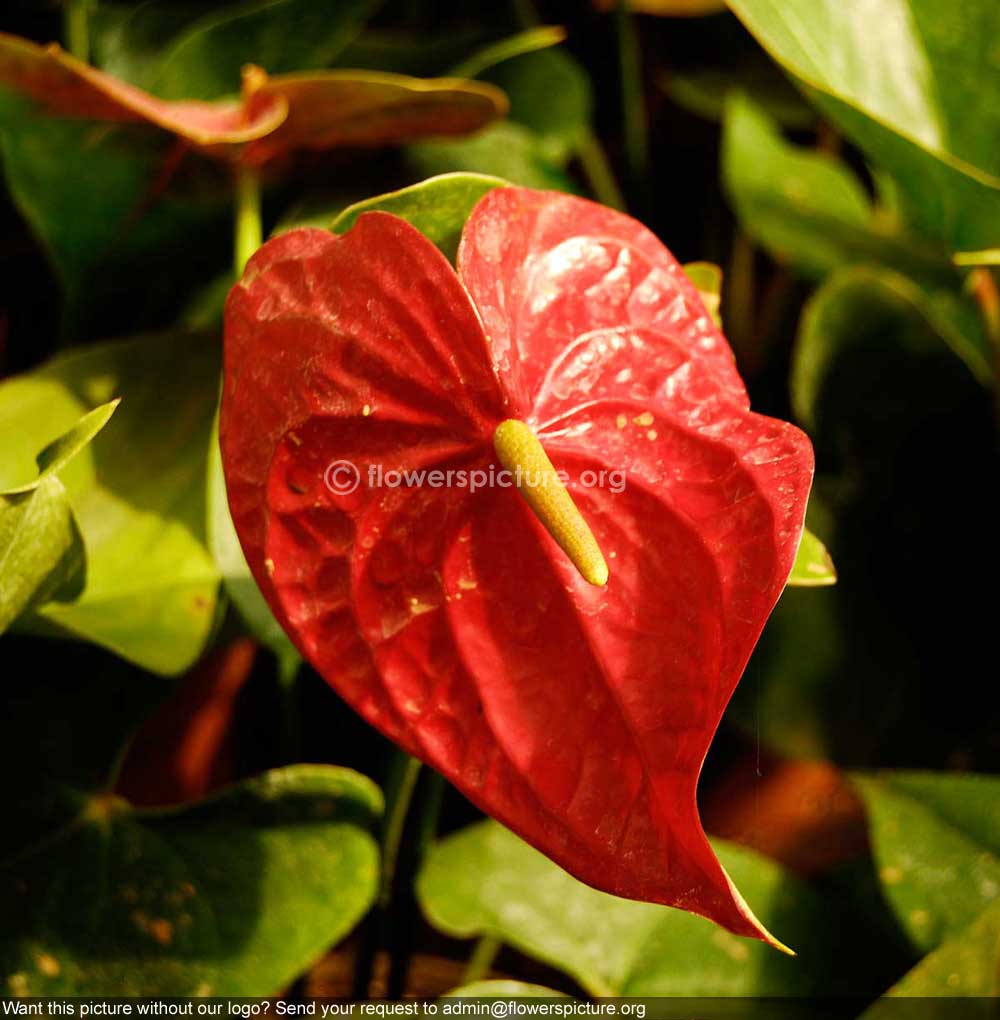 Anthurium plants in bangalore dating 8