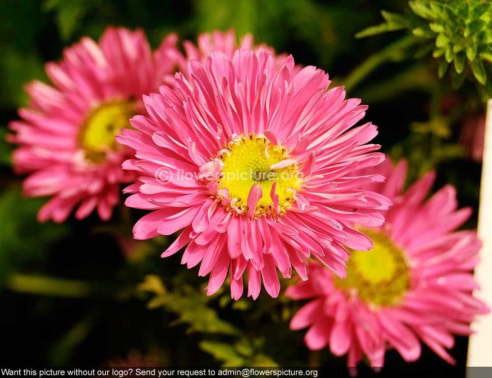 aster pink banglore flower show jan, Beautiful flower
