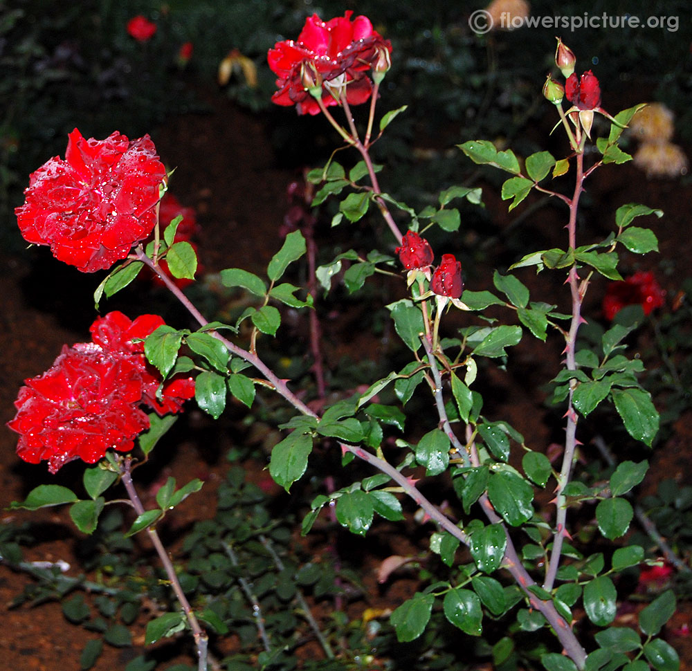 Rose plant pictures images galleries with a bite - When to plant roses ...