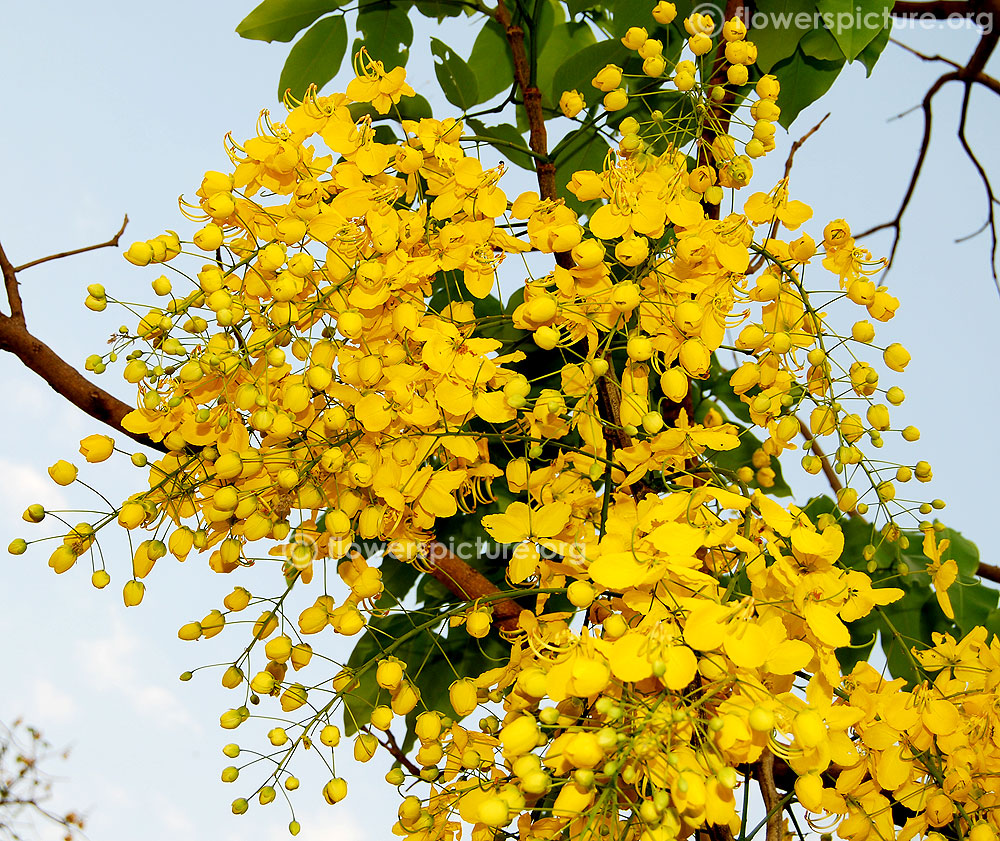 Cassia fistula | Golden shower tree