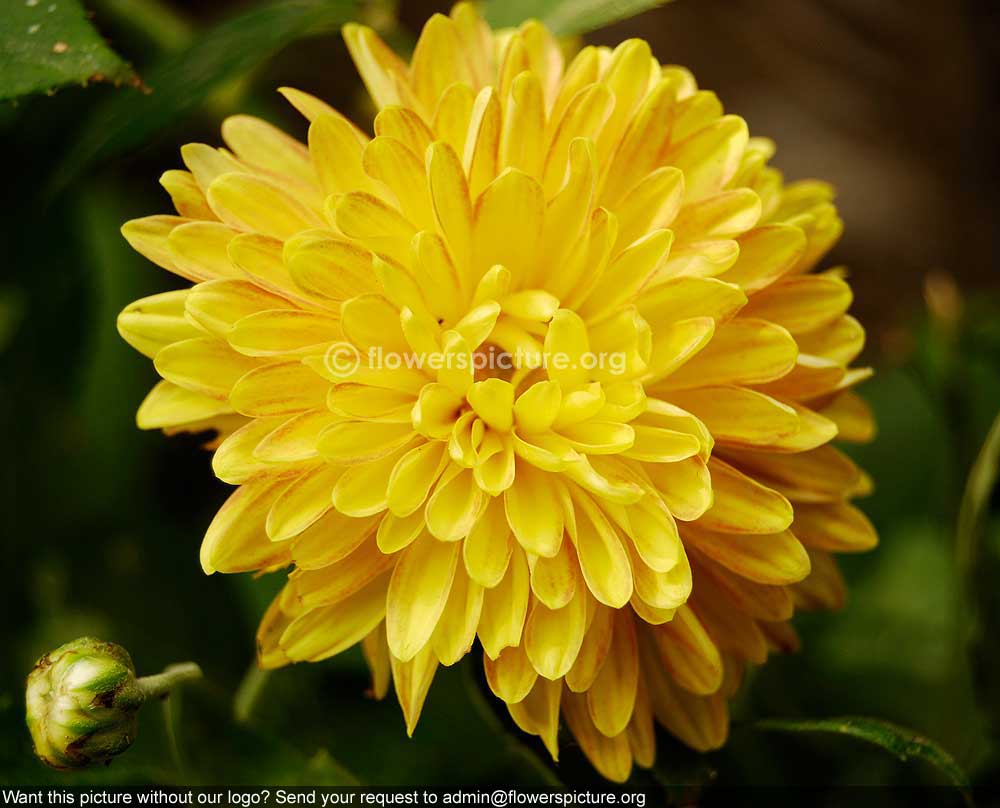 : Chrysanthemum Guldaudi गुलदाउदी Photos India ... Yellow Chrysanthemum Flower