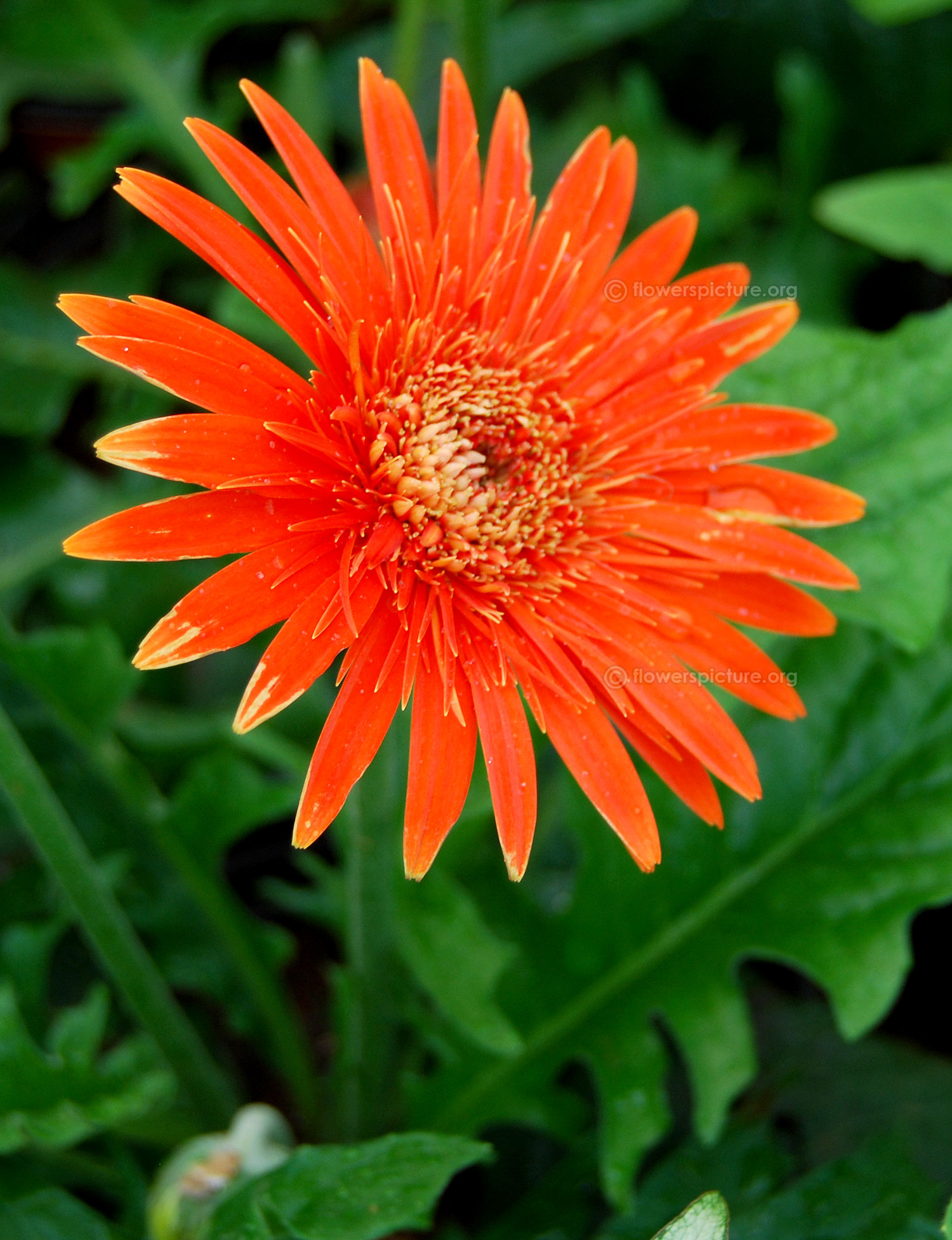 Gerbera daisy varieties orange gerbera daisy indo american hybrid seeds india pvt ltd dhlflorist Choice Image