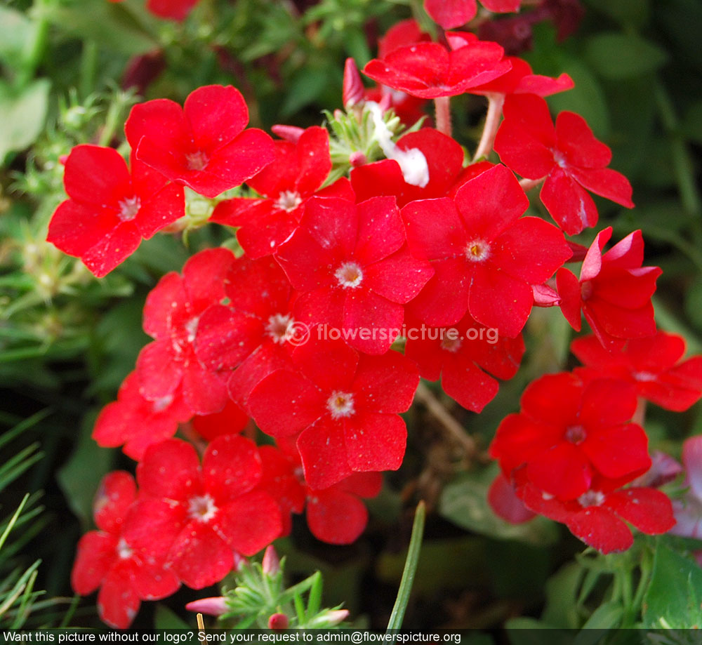 Garden flowers names - Red Garden Phlox