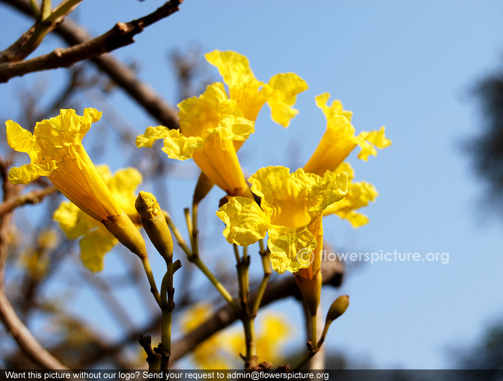 Tabebuia - The Trumpet Flower Tree - Plants in Pakistan