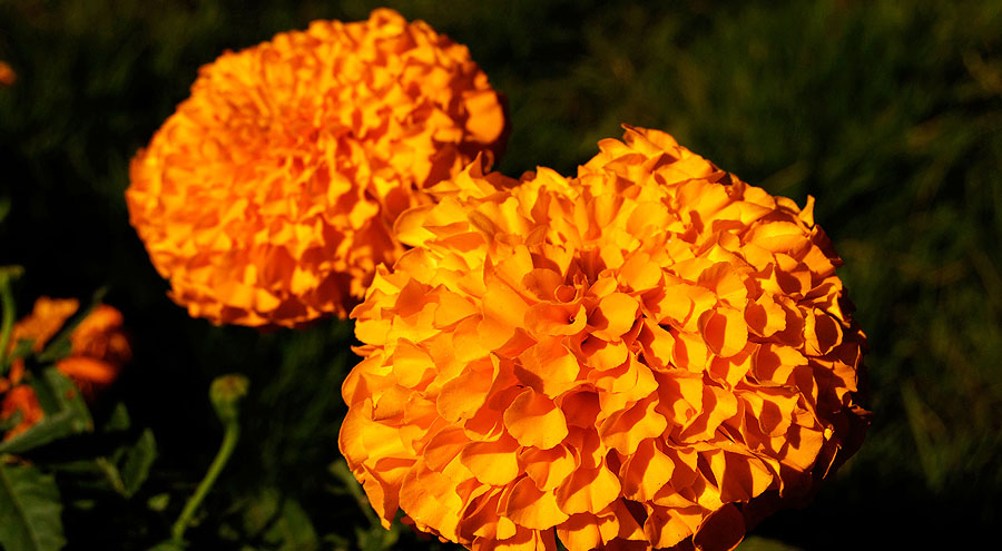 African marigold orange picture