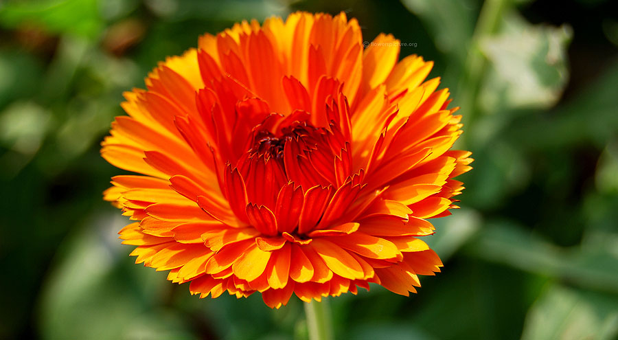 Calendula officinalis picture