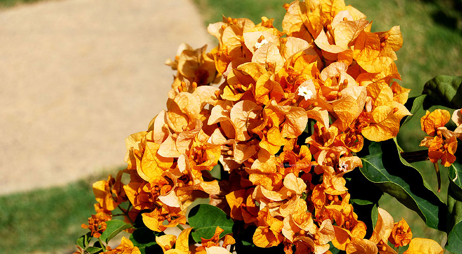 Gold bougainvillea picture