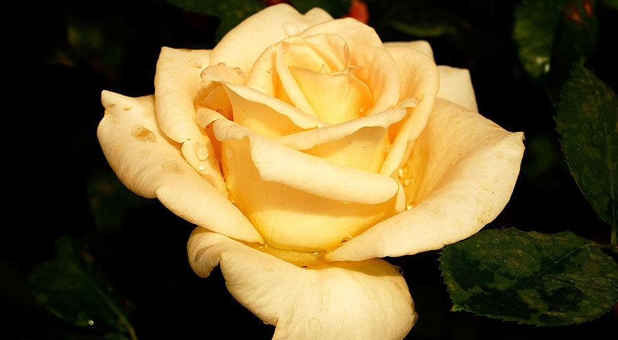 Peach color hybrid tea rose picture