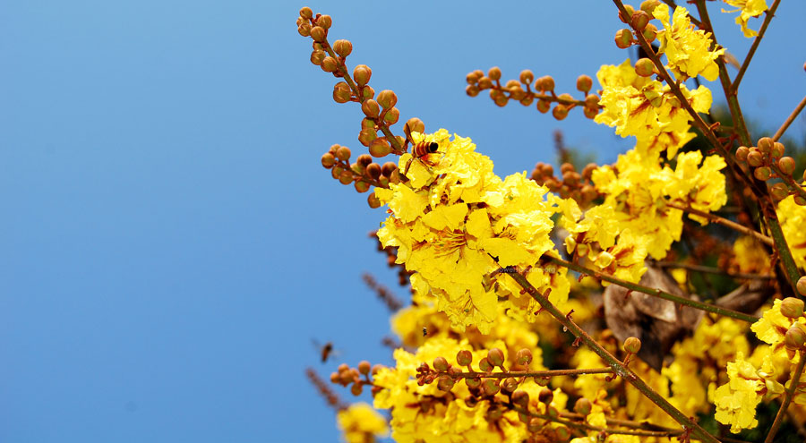 Yellow poinciana picture