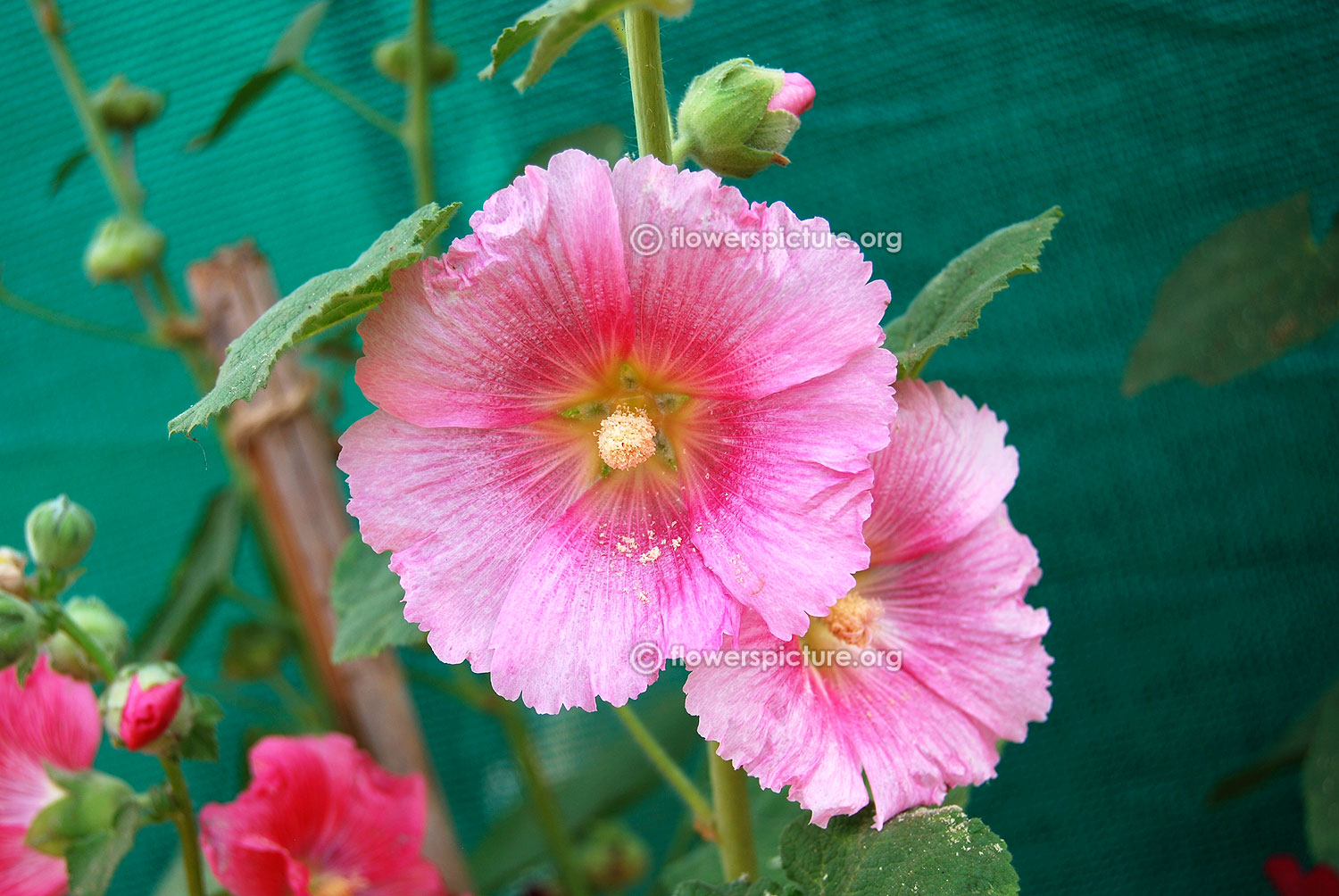 Bangalore lalbagh flower show 2015 pictures gallery 7 for Alcea rosea