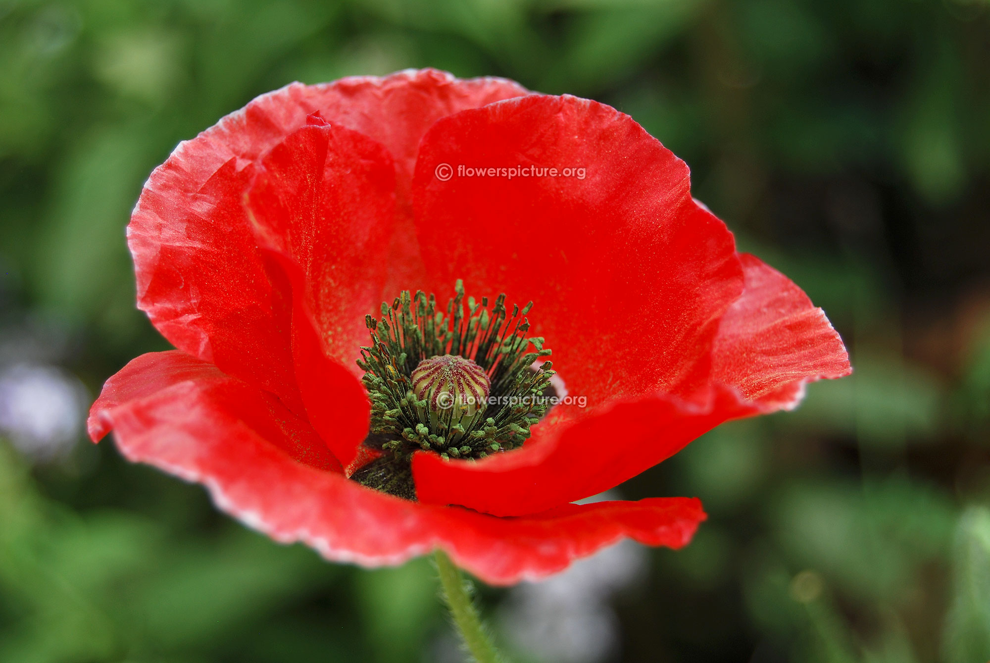 Poppy flower varieties red poppy flower mightylinksfo Image collections