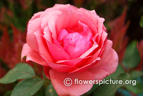 Aachener dom rose-Lalbagh flower show 2015