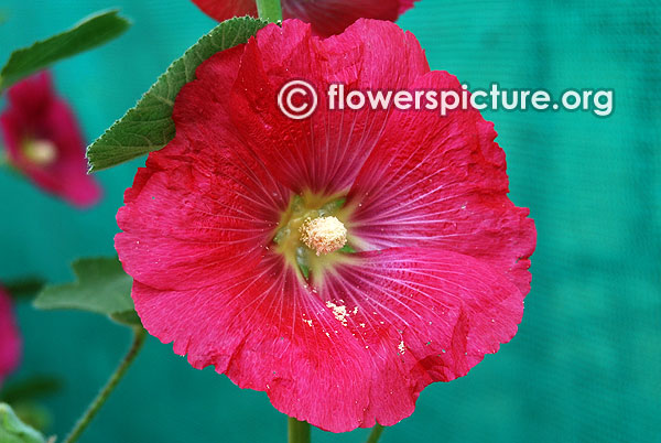 Alcea rosea mars magic