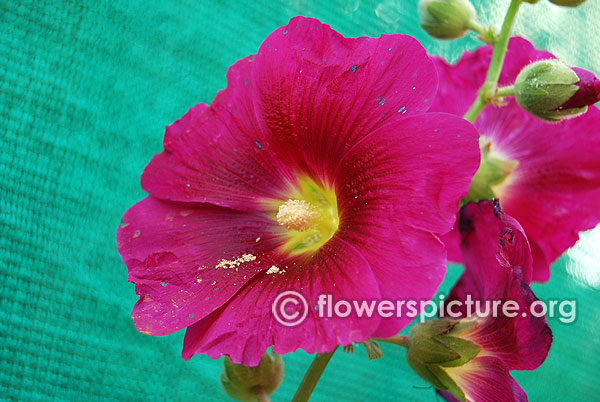 Dark magenta hollyhock