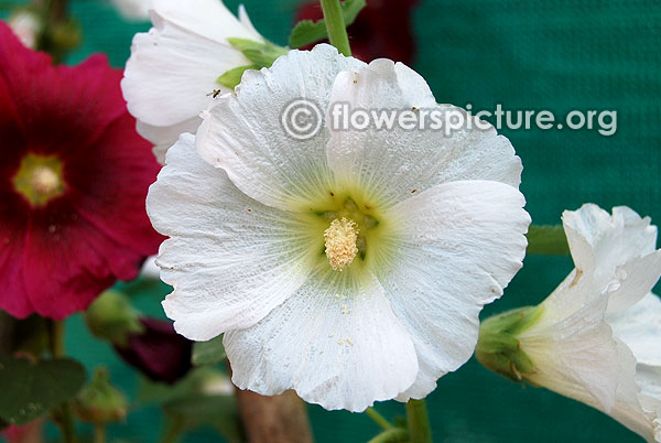 Hollyhock halo white