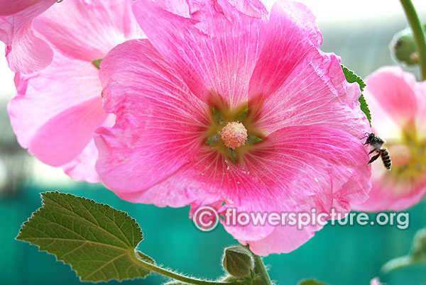 Pink flowers gallery 1 pink flowers images with names hollyhock light pink mightylinksfo