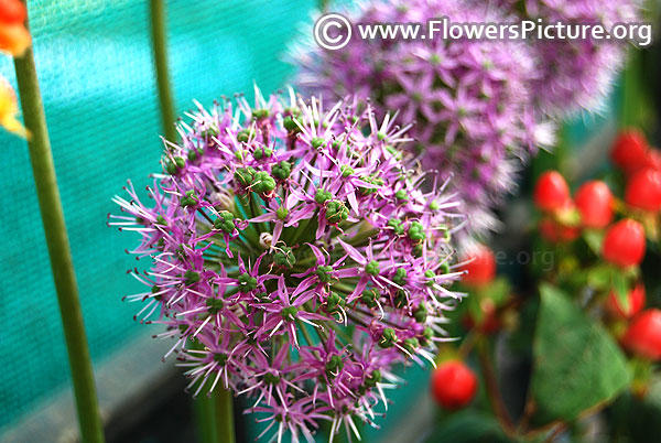 Giant onion flowers