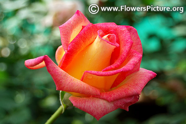 Love and peace hybrid tea rose lalbagh flower show 2018