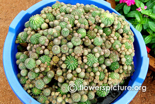 Cactus in containers