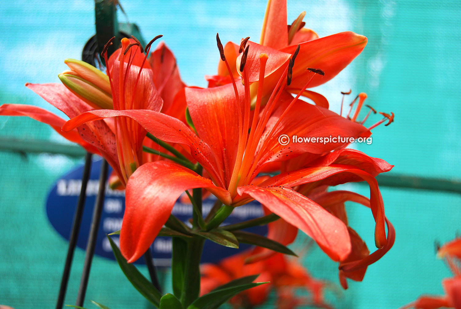Lily Or Alstroemeria Flower Varieties