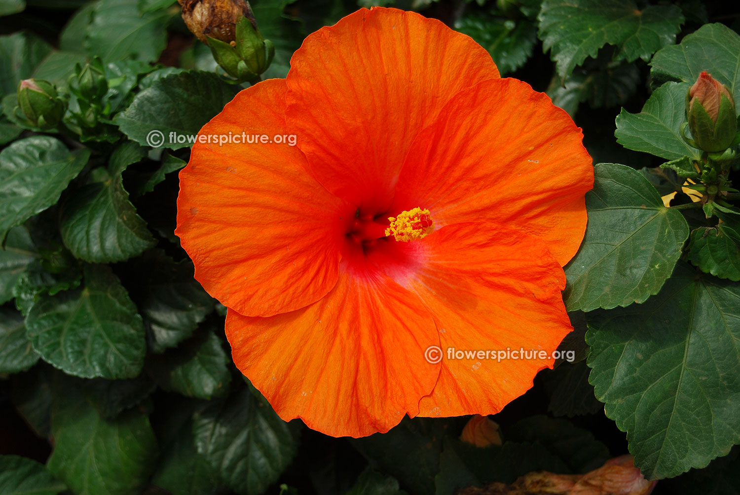 Hibiscus flower varieties expect miracles hibiscus orange izmirmasajfo Image collections