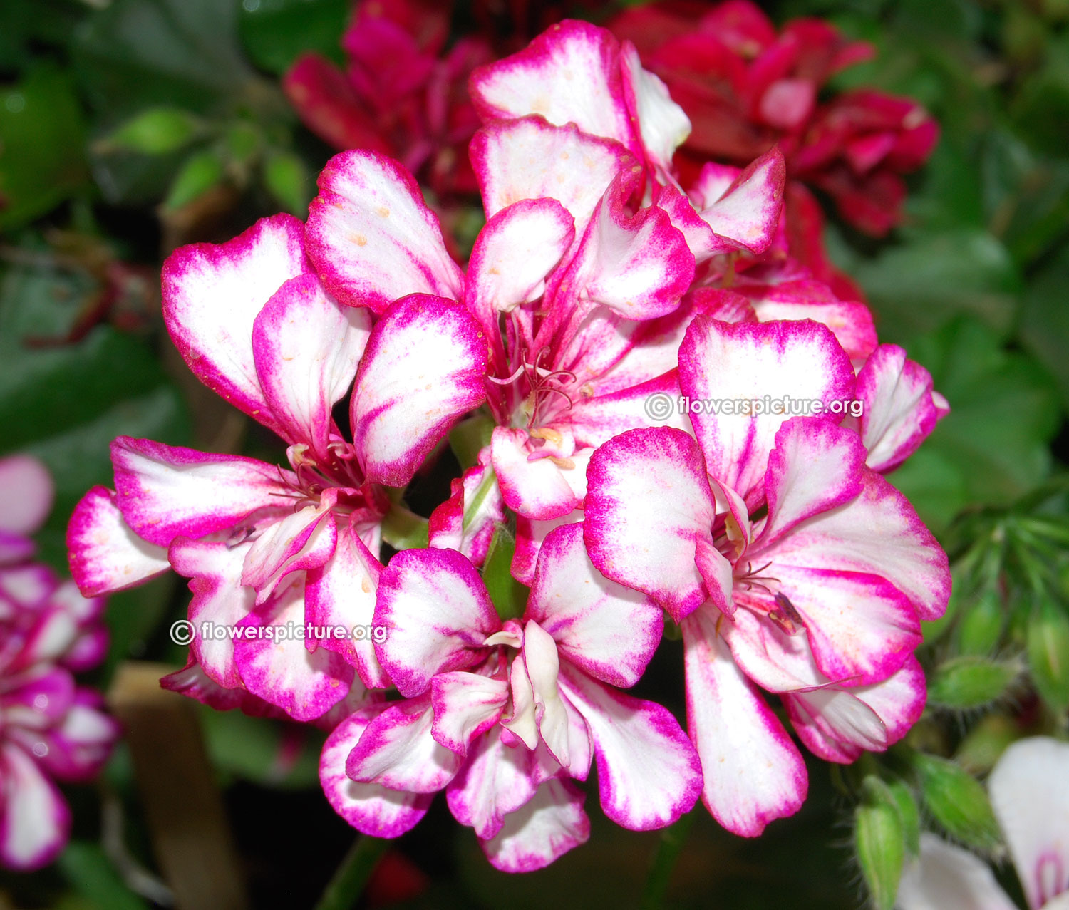Common Name Pelargonium Zonale Geranium White And Pink Variegated Flowers