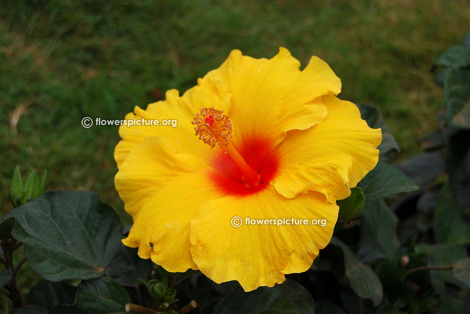 Flowers by color yellow yellow flowers images tropical hibiscus hula girl mightylinksfo
