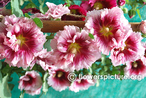 Alcea rosea double red with white