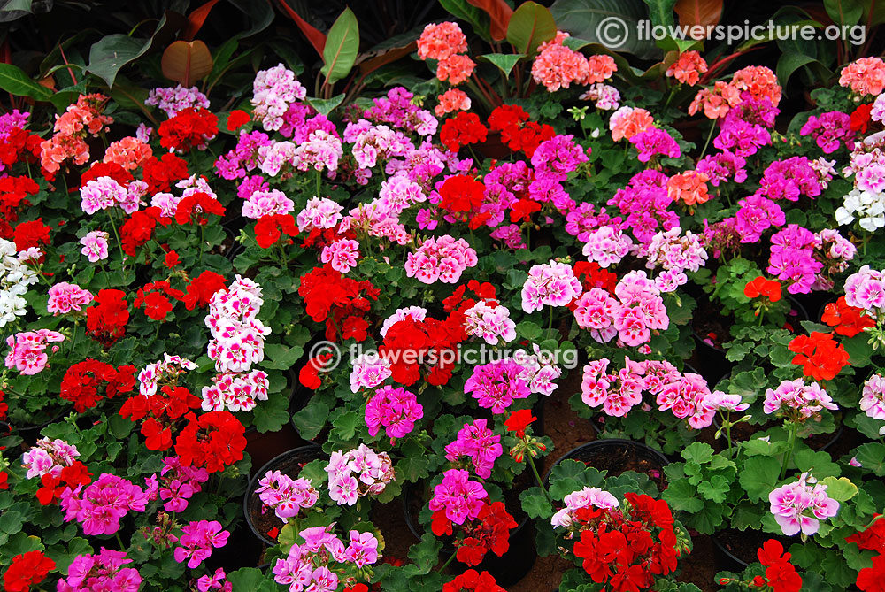Top 28 geranium varieties pictures thyme on my hands scented geraniums native plants - Different types pelargoniums ...