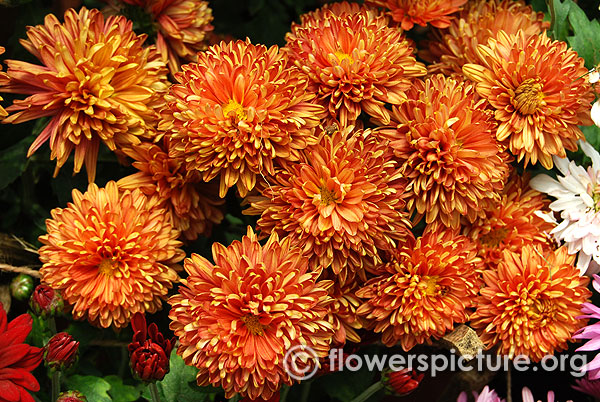 Bronze chrysanthemum