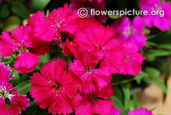 Deep pink magenta hot pink fuchsia color flowers dianthus wicked witch mightylinksfo