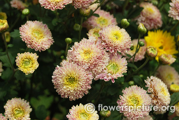 Lavender yellow chrysanthemum