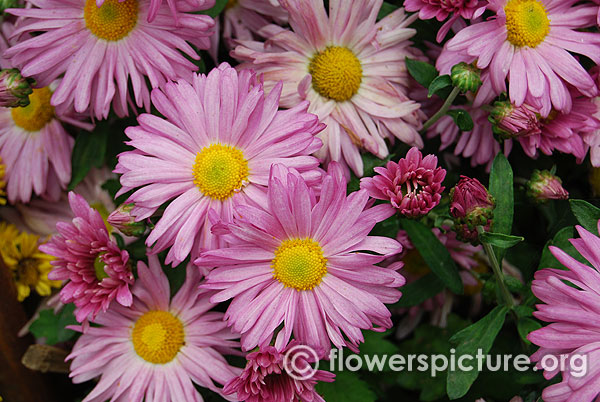 Light purple chrysanthemum