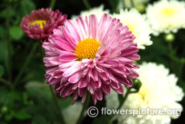 Purple spray chrysanthemum