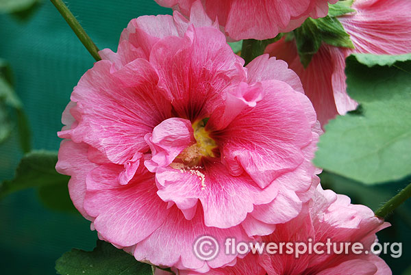 Radiant rose hollyhock