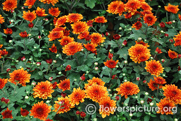 Red orange bicolor garden mums