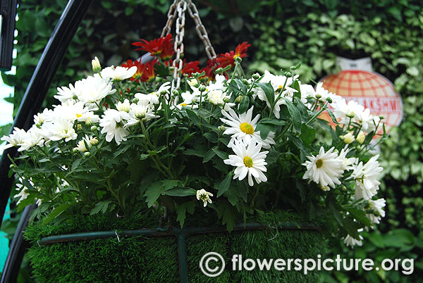 White mums flowers in hanging baskets