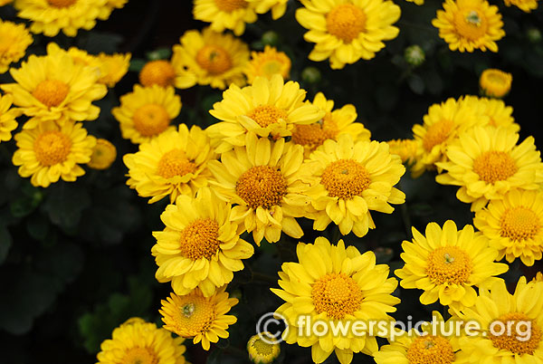 Yellow Flowers Yellow Flowers With Name