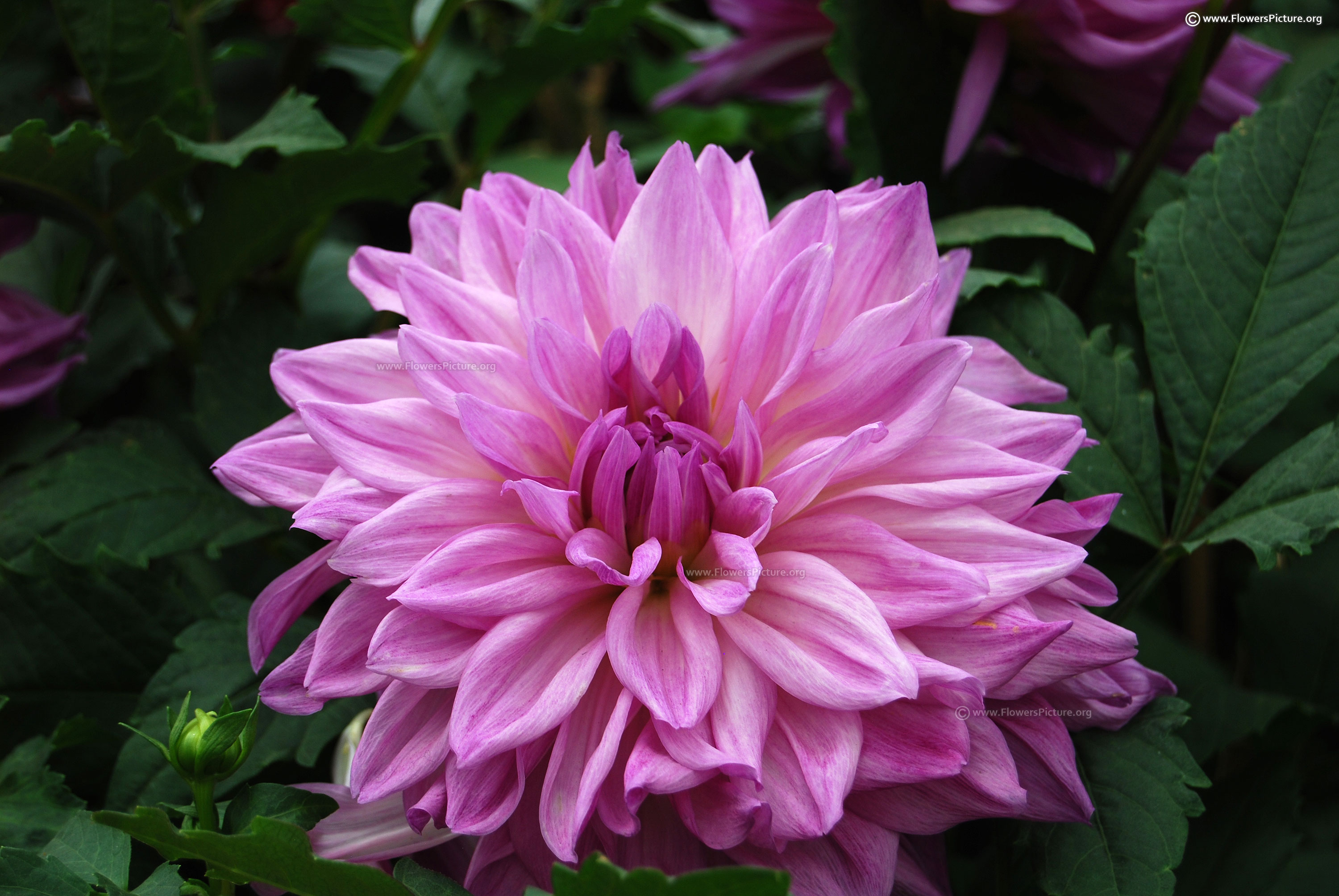 Dahlia varieties gallery big purple dahlia mightylinksfo