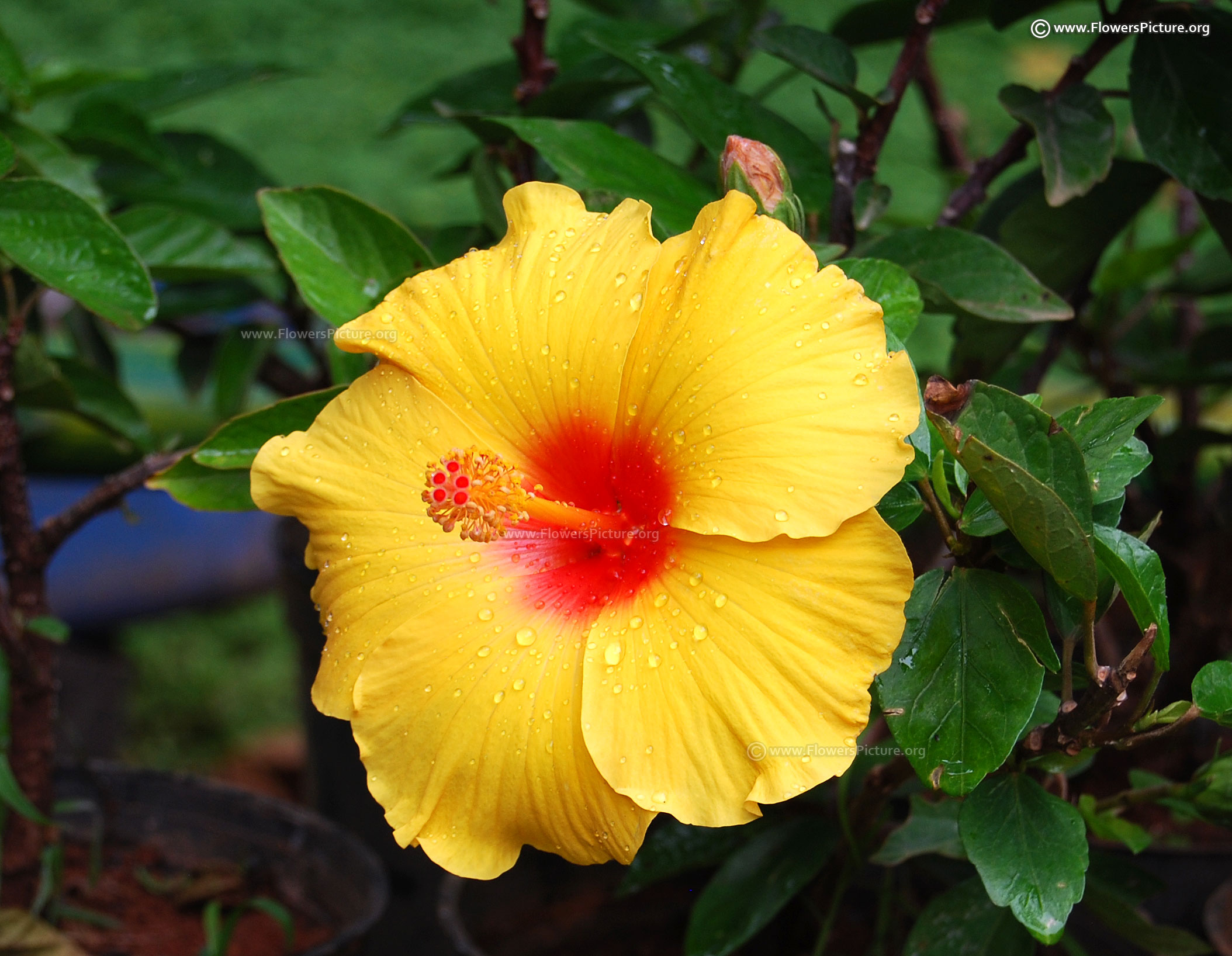 Hibiscus flower varieties hawaiian hibiscus yellow and red izmirmasajfo Image collections