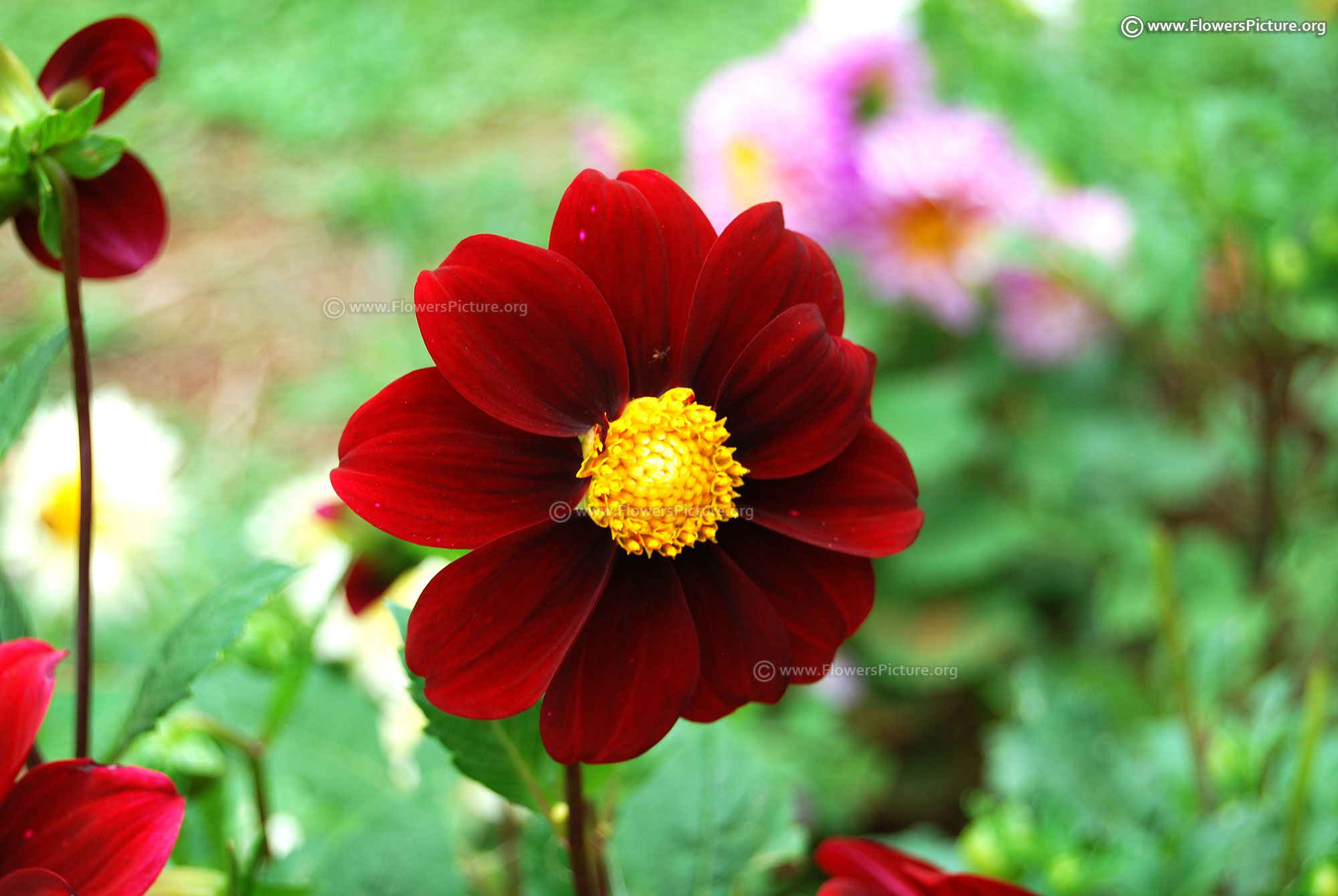 Red and Black Flowers | Red flower pictures and names