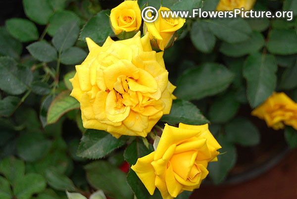 Flower power gold patio rose