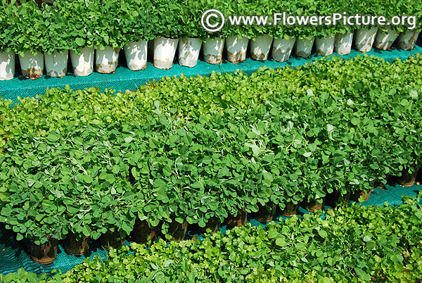 Organic home garden fenugreek and coriander