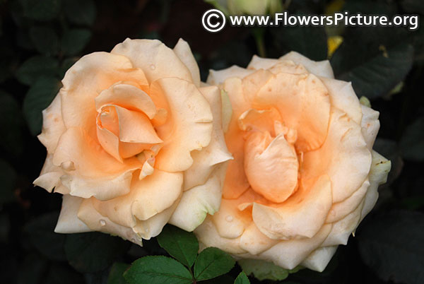 Indian Roses Varieties With Names And Pictures