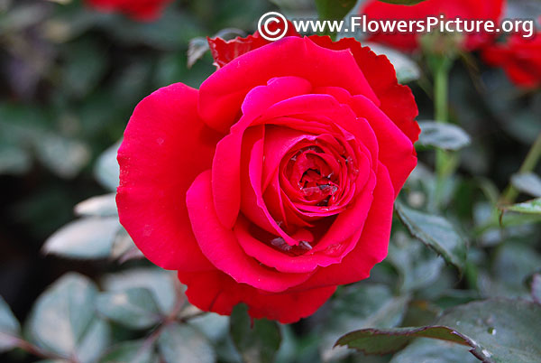 Red rose lalbagh 2017